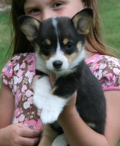 Mini Corgi Puppies For Sale >> Dunn S Farm Pembroke Corgi Puppies In Pennsylvania